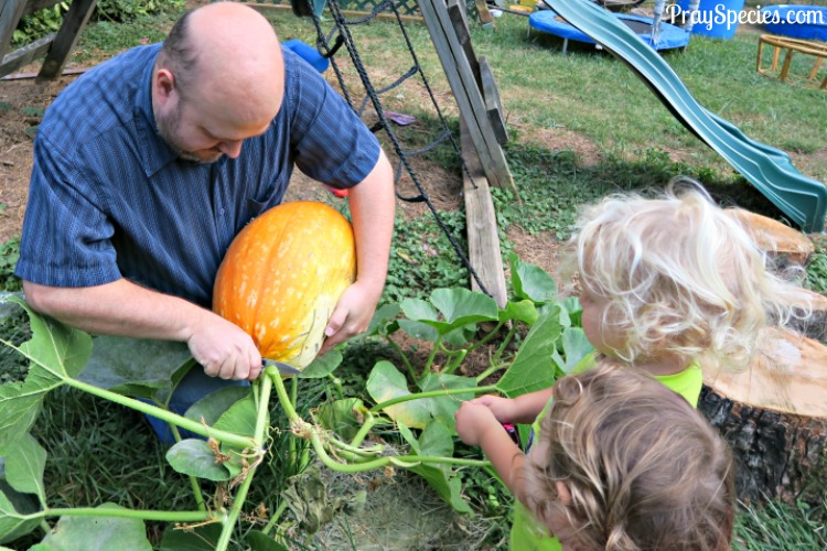 daddy-cutting-the-pumpkin-from-the-vine