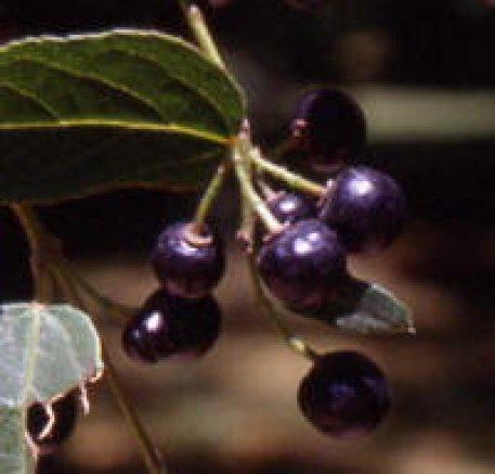 maqui-berries[1]