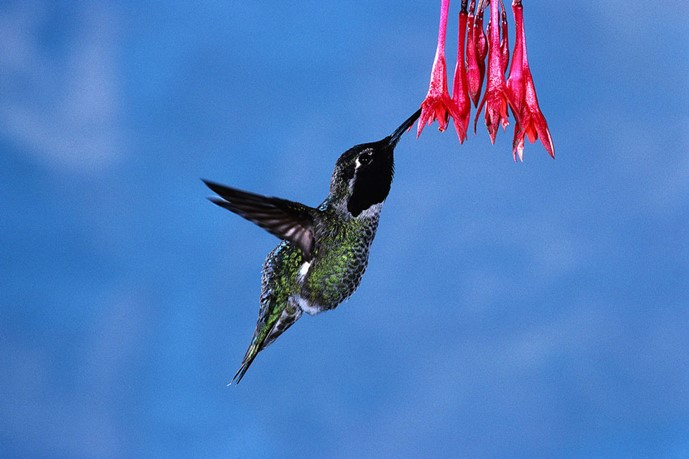 The Hummingbird Morning