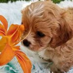 Cavapoos Teacup Cavapoo Puppies For Sale Precious Doodle Dogs