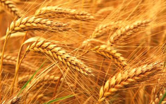 Centre procures 29 mn tonne of wheat so far this marketing year