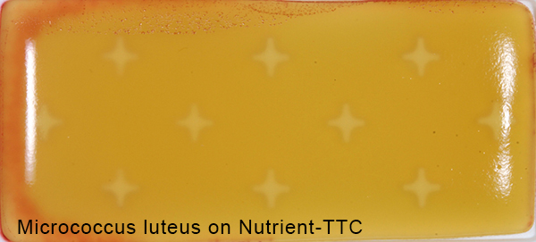 Micrococcus luteus on Nutrient-TTC