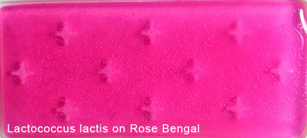 Lactococcus lactis on Rose Bengal