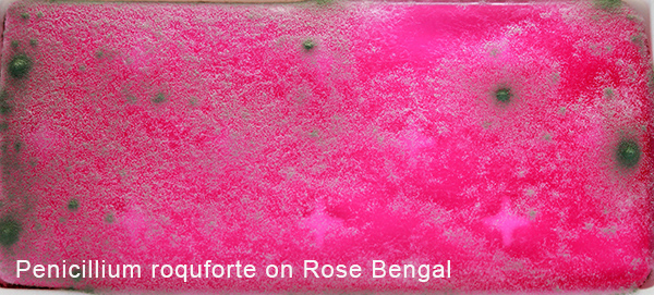 Penicillium roquforte on Rose Bengal