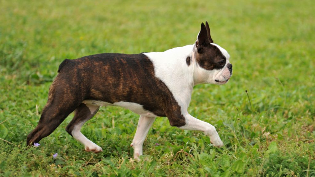 boston_terrier_2