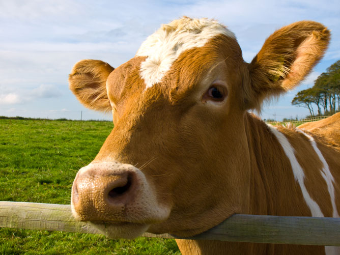 Cow-Looking-Out
