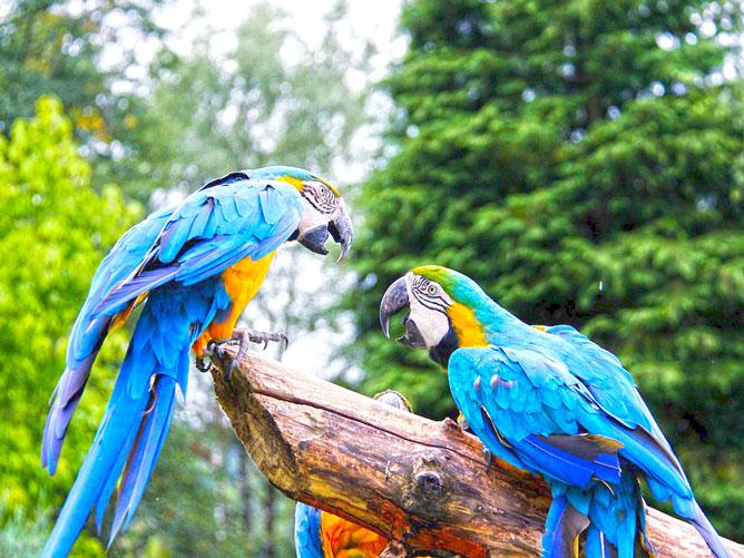Parrots-Quarrelling
