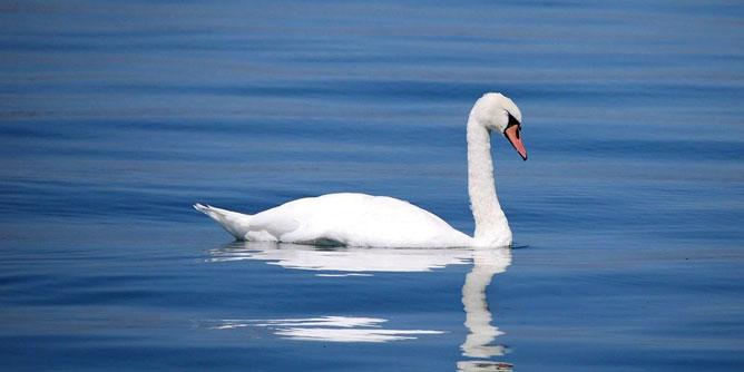 Pondering-Swan