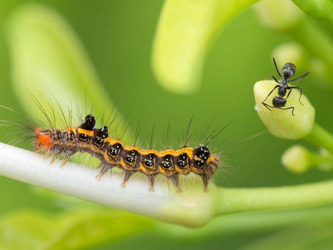 Ant-and-Caterpillar