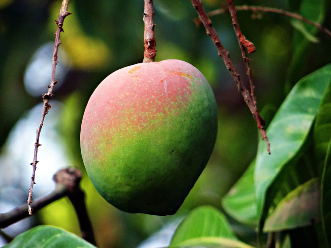 Mango-Ripening
