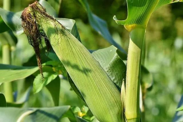 gardening fresh corn