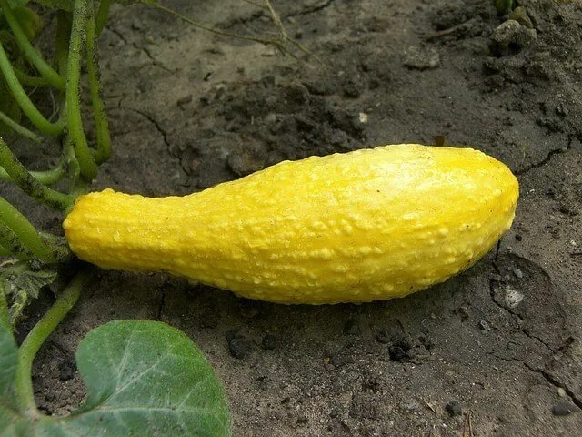 yellow squash in the garden