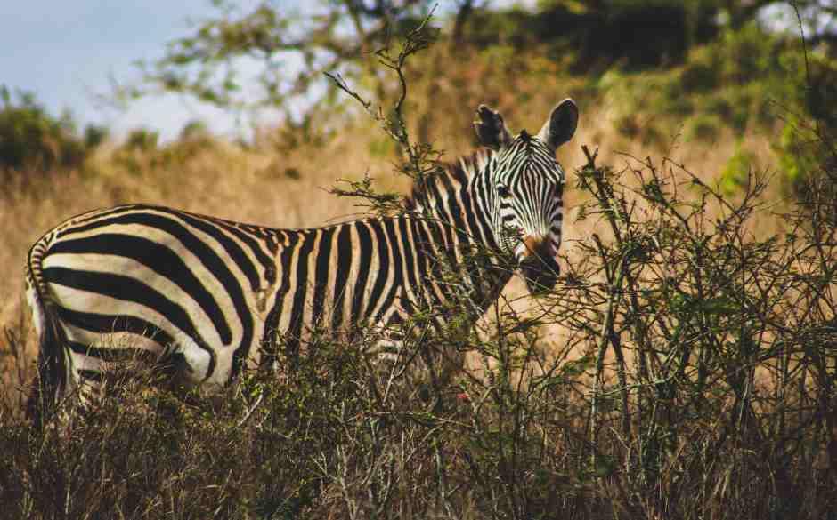 Zebre-buisson