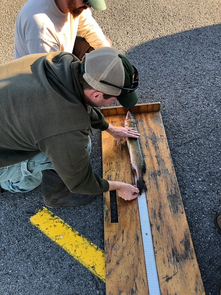 Measuring the West Virginia State Record Chain Pickerel