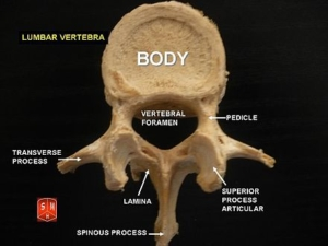 440px-Lumbar_vertebrae