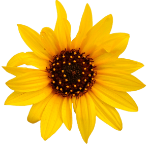 sunflower_PNG13405
