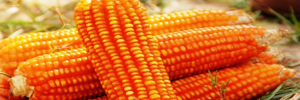 Pro Vitamin A Maize (Oba Super 6)