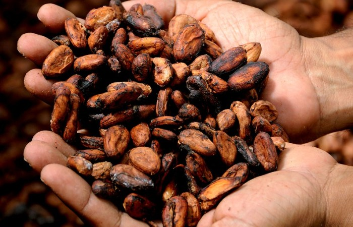 Selling put options on cocoa futures   Harvesting cocoa