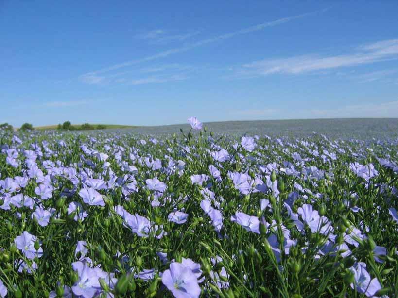Flax-Field-2