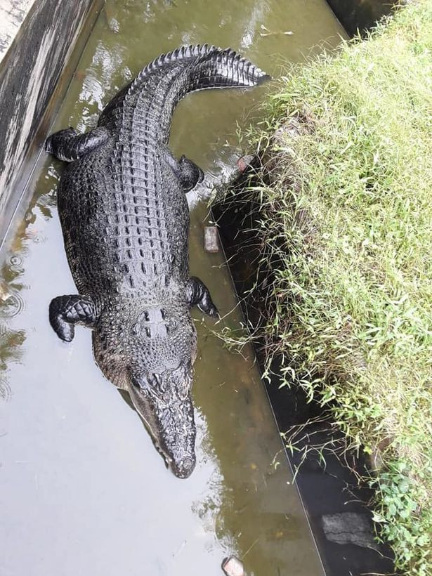 Giant crocodile eats scientist alive after dragging her into enclosure while she was feeding it