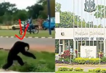 Gorilla escapes from UNILORIN's zoo (video)