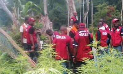 NDLEA destroys two hectares of cannabis farms