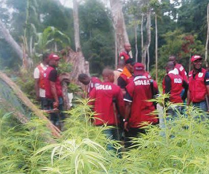 NDLEA destroys two hectares of cannabis farms