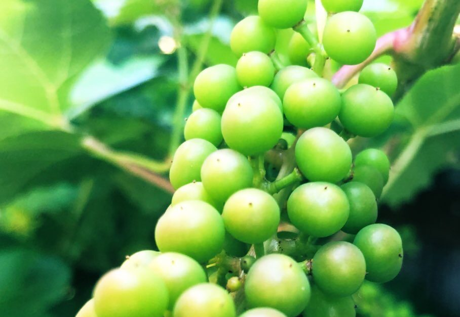 Early Stage Grape
