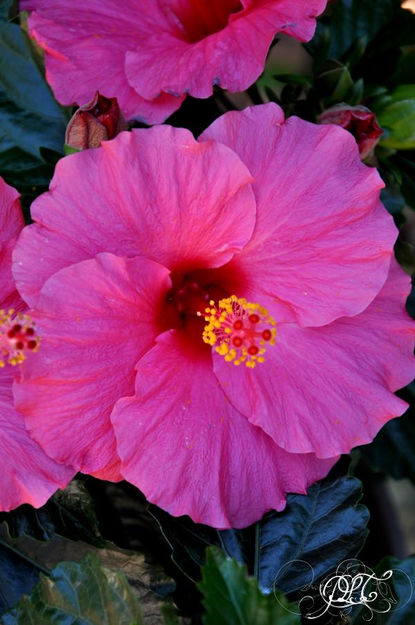 Prendre le temps - Nouvelle maison - Hibiscus - fleurs