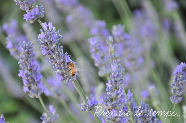 Prendre le temps - Photographie animalière - Insecte - Abeille butineuse dans la lavande