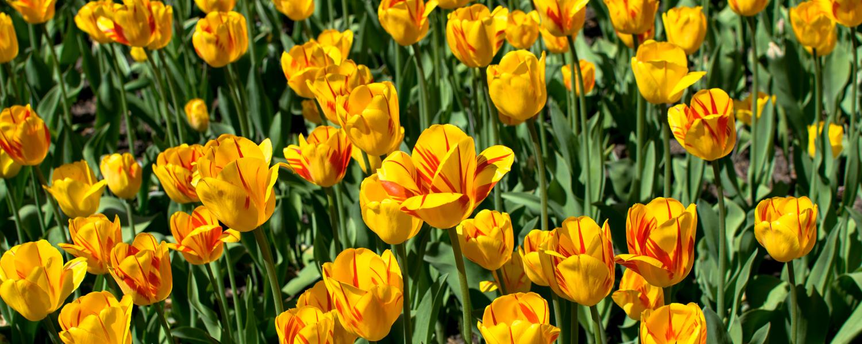 champs tulipes ottawa