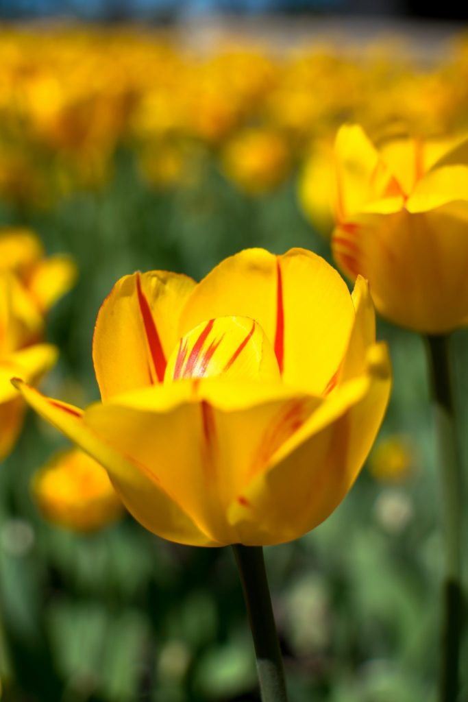 tulipe jaune rouge