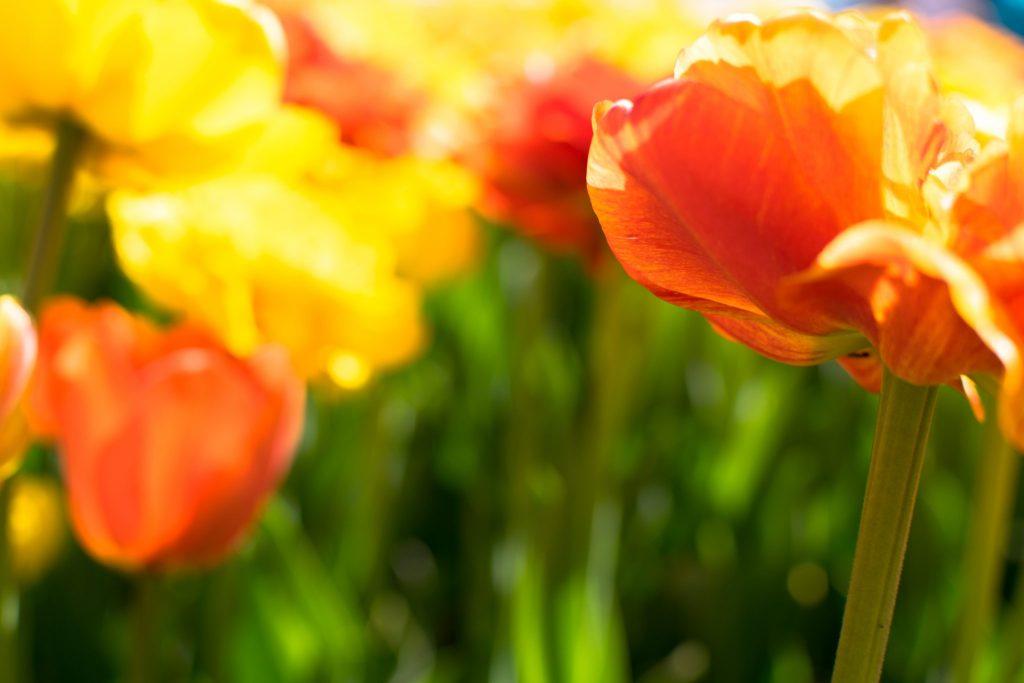 tulipes ottawa