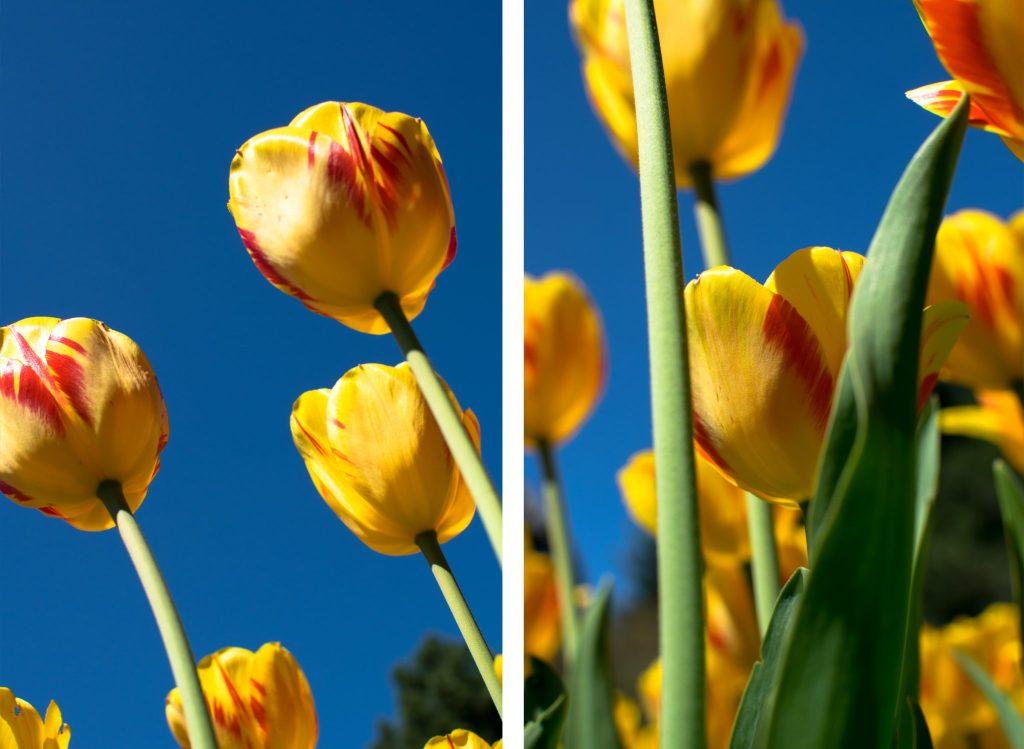 tulipes ottawa jaune