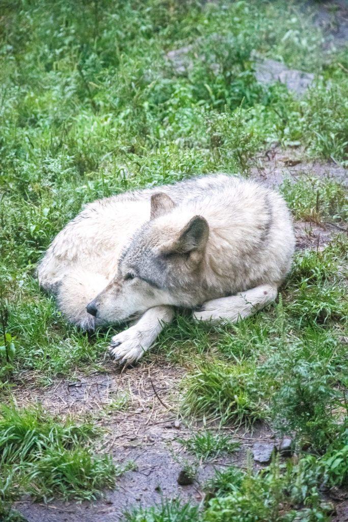 parc omega dormir avec les loups