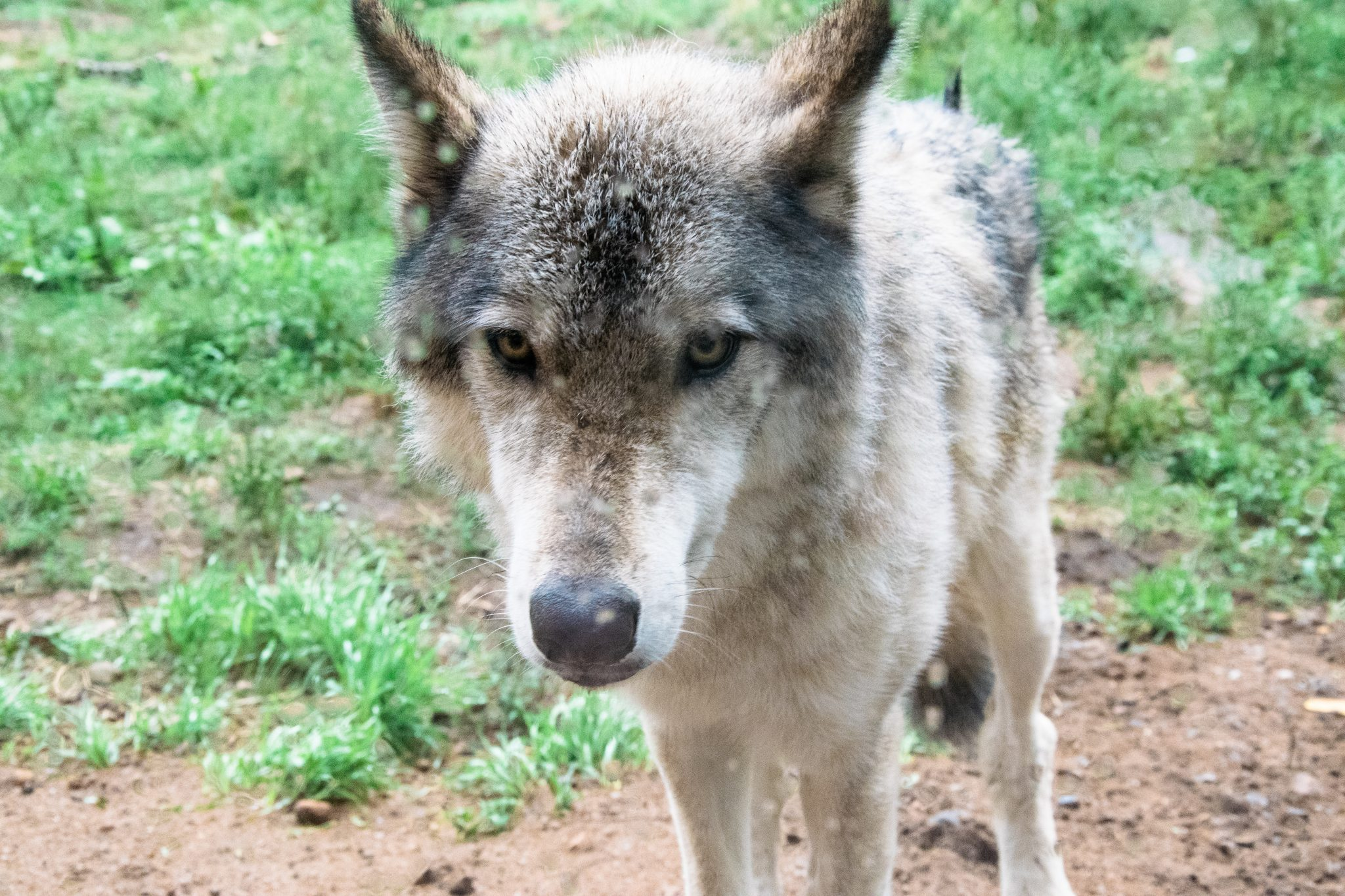 loups vitre