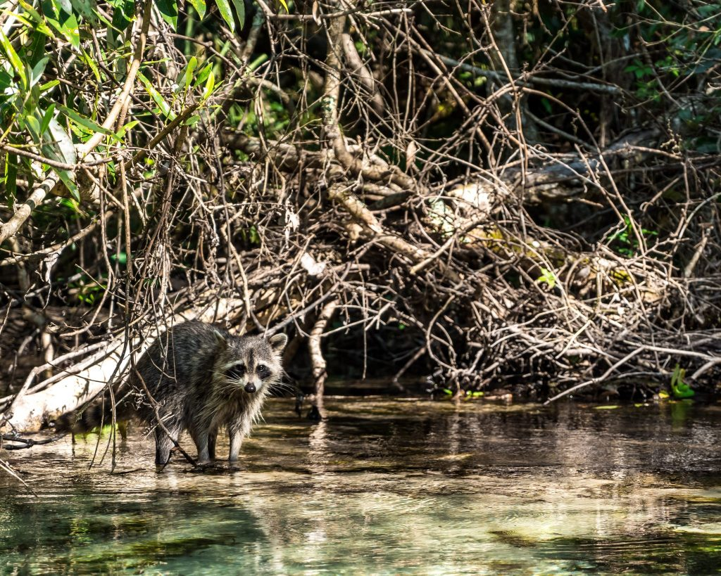raccoon road trip floride