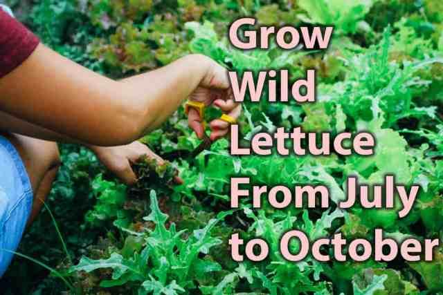 grow wild lettuce
