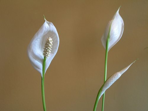 peace lilly photo