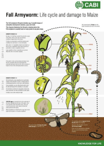 'Fall Armyworm' Invades China; Wreaks Havoc On Agriculture Lands.  Moths can fly 60 miles per night, found in 21 provinces.