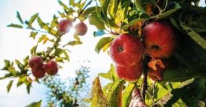 This Week's Harvest: Apples