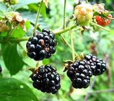 preppers will - bramble berries
