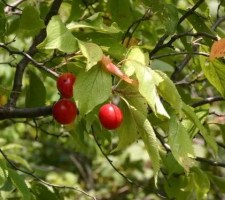 preppers will - wild plum tree