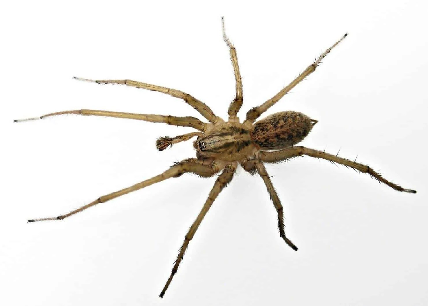 Spiders Of Cape Cod Part - 27: Also Called Tagenaria Agrestis, The Hobo Spider Is Found In The  Northwestern United States, Washington, Oregon And Idaho. This Spider Makes  Thick Webs With ...