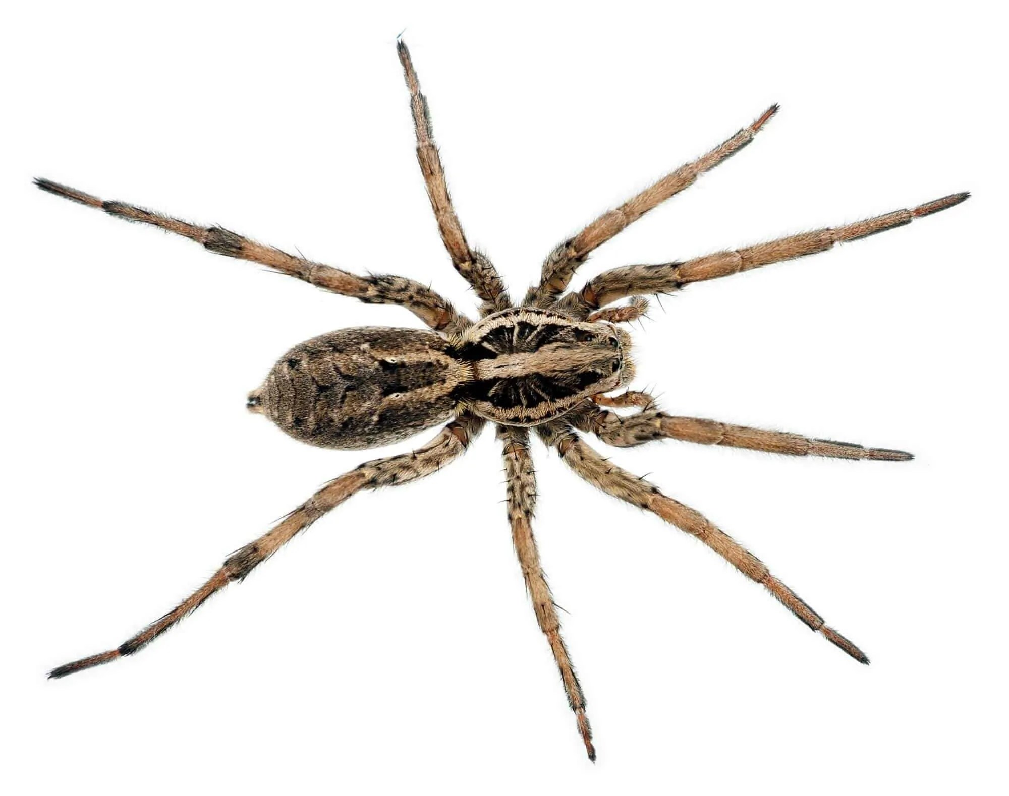 Marvelous Spiders Of Cape Cod Part - 9: The Wolf Spider