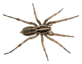 Preppers will - Wolf spider