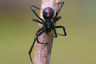Preppers will - black widow spider