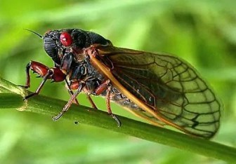 Prepper's Will - Edible Insects_Tibicen Cicada