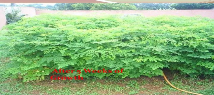 Prepper's Will - 5 weeks Moringa Oleifera