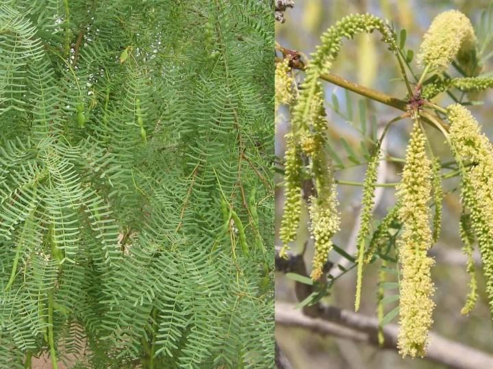 Prepper's Will - Arid Edibles - Honey Mesquite